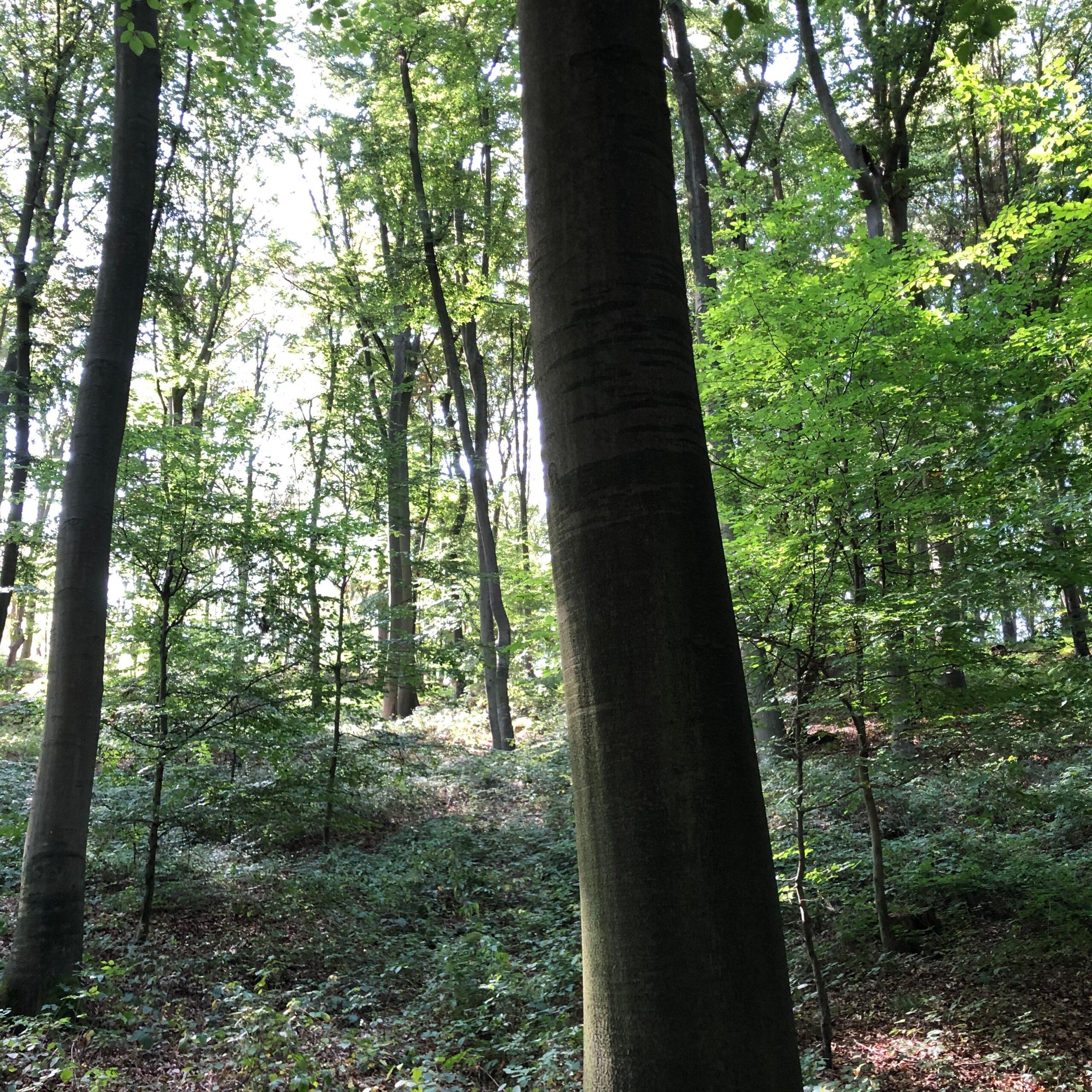 Der Sinziger Harterscheid verfügt dank nachhaltiger Forstwirtschaft ein vielfältiges Waldbild